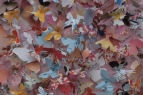 'Pearl-bordered Fritillary' Boloria euphrosyne